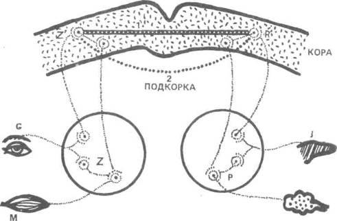 Схема условного рефлекса (по