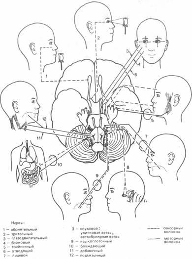черепномозговых нервов.