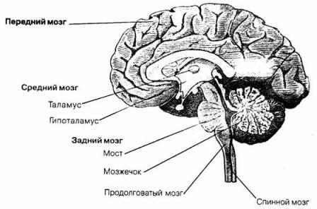 психики человека: таламус,