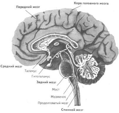 нервной системы человека.