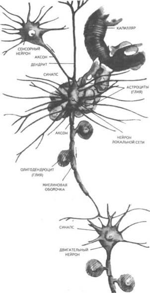 синап-тический контакт с