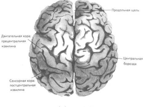 человеческого мозга.