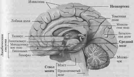 Головной мозг человека (вид